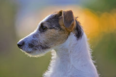 Head of Jack Russell Terrier. Jack Russell Terrier portrait profile royalty free stock images