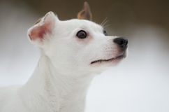 Head of Jack Russell terrier. In winter royalty free stock image