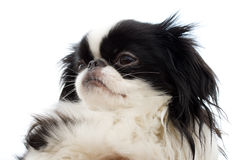 Head of japanese chin puppy royalty free stock photo