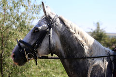 Head of a jumping horse in dressage. Braided mane for dressage Royalty Free Stock Images