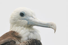 Head of Juvenile Magnificent Frigatebird Royalty Free Stock Photos