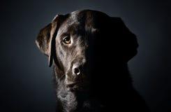 head key labrador low skjutit starkt fotografering för bildbyråer