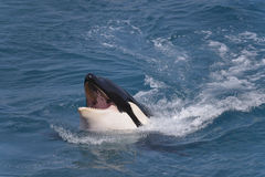 Head of killer whale Stock Images