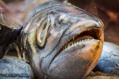 Head of king fish. King pieces cut for food royalty free stock photo