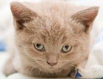 Head Of A Kitten Stock Photo