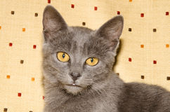 Head of a kitten Royalty Free Stock Images