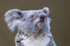 Head koala Royaltyfri Bild