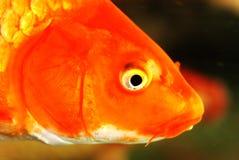head koi för fisk Arkivbild