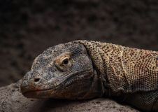 Head of komodo dragon Stock Images