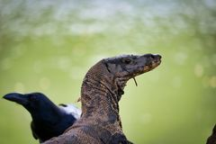 The head of a Komodo dragon and a raven cross in lumpini park in Bangkok stock photo