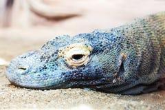 Head of Komodo dragon Royalty Free Stock Photo