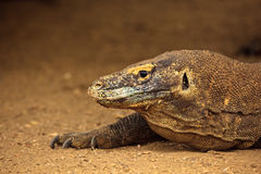 Head of Komodo Dragon(Varanus komodoensis) Stock Photography