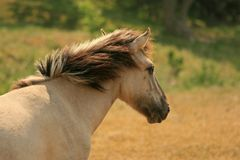 Head of a Konik pony Royalty Free Stock Images