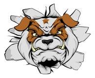 Head krascha för bulldogg till och med väggen Arkivfoto