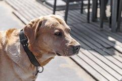 Head of a Labrador dog stock photo