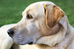The head of a labrador dog. Looking to the its right Stock Images
