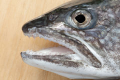 Head of Lake Trout (Salvelinus namaycush) Stock Photography