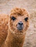 Head of lama guanaco Stock Photos