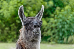The head lama Stock Photo