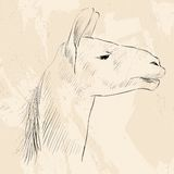 Head Lama Stock Images