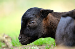 Head lamb sheep of Cameroun Royalty Free Stock Image