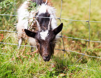 Head of lamb or sheep stuck in wire fence stock image