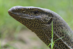 The head land lizard photographed close-up Royalty Free Stock Photo