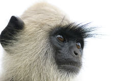 Head langur. Langur closely at something that looks. Sithulpawwa, Sri Lanka Royalty Free Stock Photo