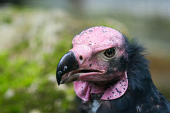 Head of Lappet-faced or Nubian Vulture Royalty Free Stock Photography