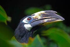 Head with the large beak of an oriental pied-hornbill bird between green tropical leaves Royalty Free Stock Photo