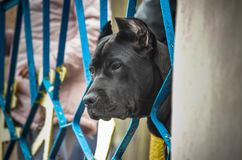 The head of a large black Cane Corso with cropped ears crawled through a metal fence and watches the performance of other dogs royalty free stock image