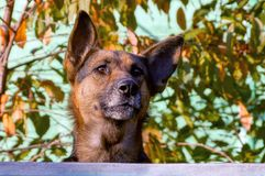 A large dog peeks over a fence in the background of leaves and twigs stock images