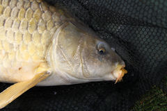 Head of large Common Carp. Royalty Free Stock Photo