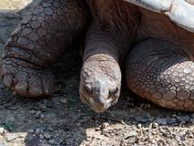 The head of a large earth turtle that lies on the ground on a sunny day royalty free stock images