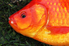 Head of large Goldfish. Royalty Free Stock Image
