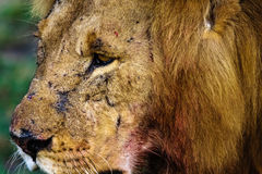 Head of a large lion. Kenya Royalty Free Stock Image