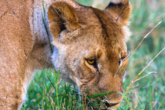 Head of large lioness. Kenya Royalty Free Stock Photos