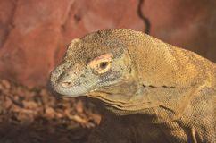 Head of large lizard Royalty Free Stock Images