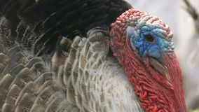 The head of a large turkey close-up slow motion video. The head of a large angry turkey with red growths close-up slow motion video stock video