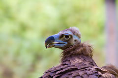 Head of a large vulture bird Royalty Free Stock Image