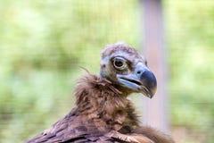 Head of a large vulture bird Stock Photos