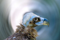 Head of a large vulture bird Royalty Free Stock Photo