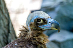 Head of a large vulture bird Royalty Free Stock Photos