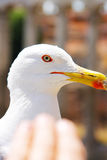 The head of a large white gull and the palm stretched towards the bird Royalty Free Stock Images