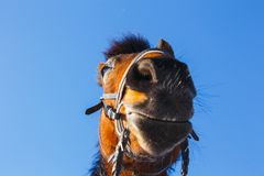 Head of a laughing horse on a blue sky background royalty free stock photo