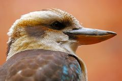 Head and beak of a laughing kookaburra bird in profile view looking to the right side Royalty Free Stock Photos
