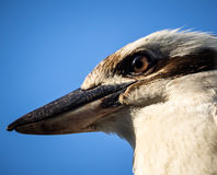 Head of Laughing Kookaburra with Intense Brown Eye royalty free stock images