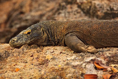 Head, leg, Claws of Komodo Dragon Indonesia Royalty Free Stock Photo