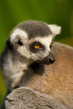 head lemur Royaltyfria Foton