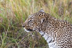 Head of a leopard close-up. Masai Mara, Kenya royalty free stock photography
